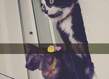 قط روسي +قط فارسي