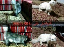 البيع قطط أليف ذكر و أنثي شيرازي منتجات