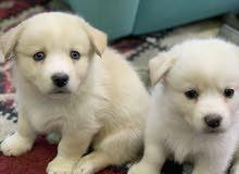 كلاب صغيره للبيع