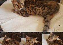 قطط بنجال بيور بأسعار تبدء من 750