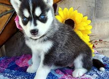 Black and white Siberian husky puppies with blue eyes now ready for new homes