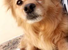 كلب مهجن pomeranian x dachshund