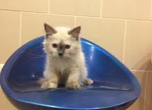 قطه هيمالايا شيرازي صغيره للبيع