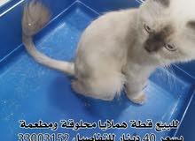 للبيع قطة هملايا اليفة ومنتجة ومعدل الشعر مالها بحالة ممتازة