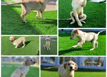 كلب جولدن ذكر Golden retriever dog male