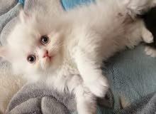 3 قطط للبيع الطبيعة اجمل من الصور