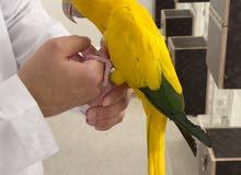 قولدن كنيور انثى - golden conure female