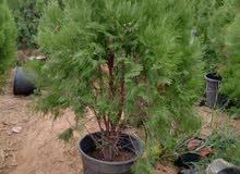 مشتل النسرين للاشجار المتمرا ونبتات الزينه كل ماتطلب من انواع