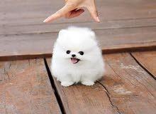 مطلوب كلب للتبني نفس الموجود بلصوره بصحة جيدا يرجى عدم الاتصال و الاكتفاء برساله