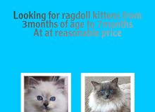 looking for ragdolls at a reasonable price
