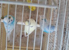 طيور بقلينو زينة للبيع