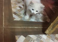 قطه شيرازي بنت 50 يوم