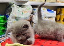 قطط بريتش شورت هير  50يوم