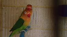 جوز طيور فيشر للبيع