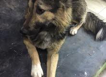 كلب الماني جيرمن ضخم جدا وعمره صغير واليف والعب معاه استمتاع وسريع الفهم للتدريب