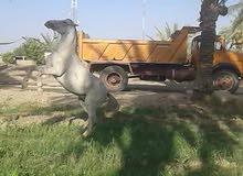 حصان للبيع ابيض في بابل
