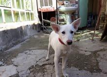 كلب هاسكي للبيع او للمروس رقم الهتف موجود في الوصف