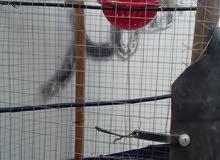 المفرق جوز طيور الجنة