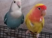 Beautiful Love Birds Breeding Pair