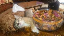 قطة للبيع الام شيرازي والاب انغور تركي