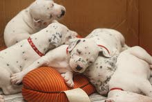 pure Dalmation puppies , male & female