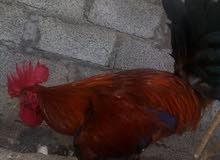 دجاج اعمني للبيع