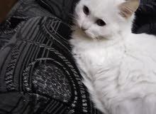 قطه أنثى شيرازي للبيع