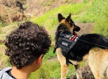 ابحث على انثى في صنعاء  من نفس فصيل كلبي جرمن شبر    او التزاوج