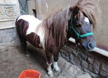حصان بونى ذكر