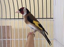 Hasoun Bird