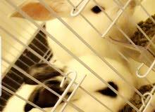 ارنب قزم للبيع