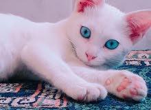 قطة شيرازي للبيع مع اكلها و العابها بسعر مغري بداعي السفر