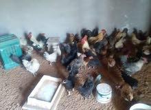 مطلوب دجاج عربي للبيع