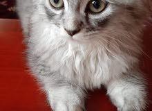 قطة شيرازيه مدربه على الحمام