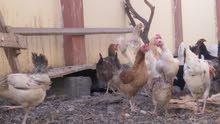 دجاج عماني محلى للبيع