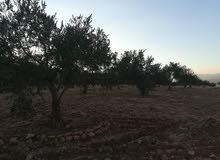 مزرعة زيتون أشجار مثمرة