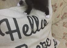 قطه شيرازي مون فيس لون ملكي
