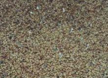 بذر قت عماني للبيع