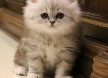 للبيع قطة شنشيلا