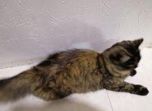 قط أنثى ايرانيه اصيله عيون دائريه ماشاءلله
