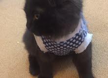 قطه صغيره سوداء البيع