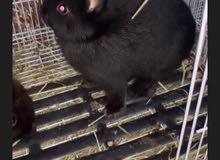 ارانب زينه النوع القزم