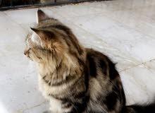 قطه شيرازي اغراضها كامله للبيع مستعجل