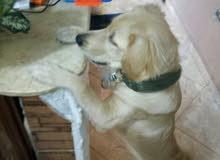 كلبة جولدن ريتريفر شقية وواخدة كل التطعيمات ومعاها البطاقة الصحية