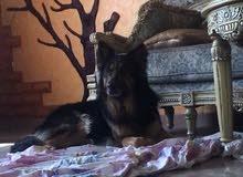 كلب جيرمن شيبرد لونق هير كنق سايز