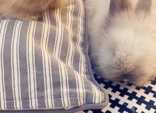 أرانب وسنجاب للبيع