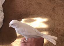 طير كناري للبيع ابيض بدو شوي و بجهز