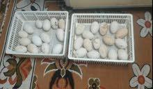 متوفر بيض وز كوبرا شرط تخزين اقل من اسبوع بسعر جدا مناسب أقره الوصف