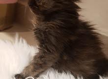 سنكرز قطة برتيش مكس سيبيريان