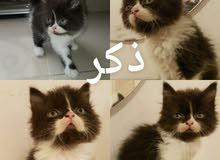 قطط خليط شيرازي وفارسي